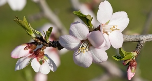 Almond_blossom02_aug_2007